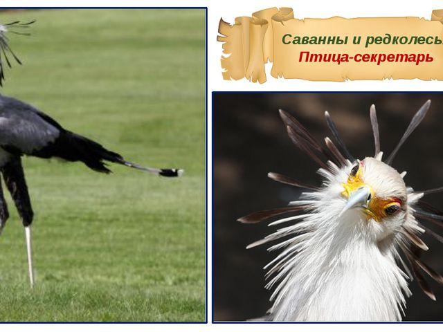 Саванны и редколесья Птица-секретарь