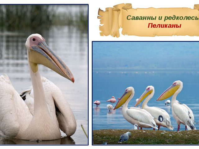 Саванны и редколесья Пеликаны