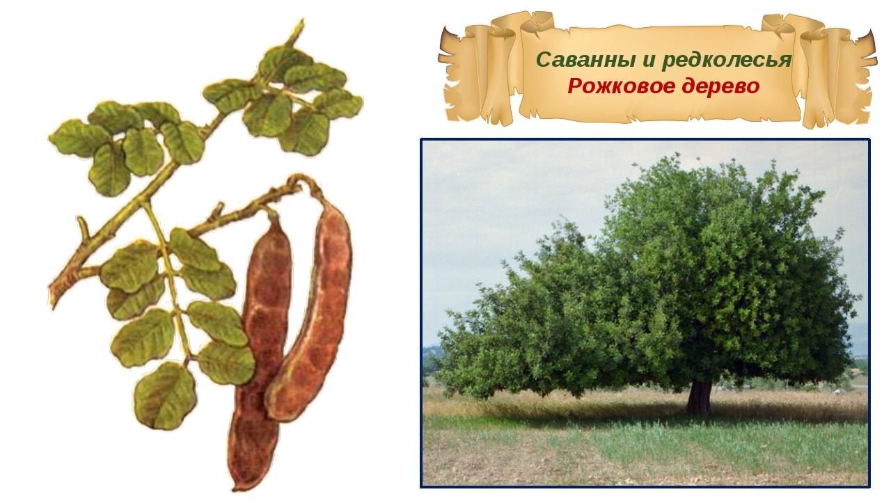 Саванны и редколесья Рожковое дерево