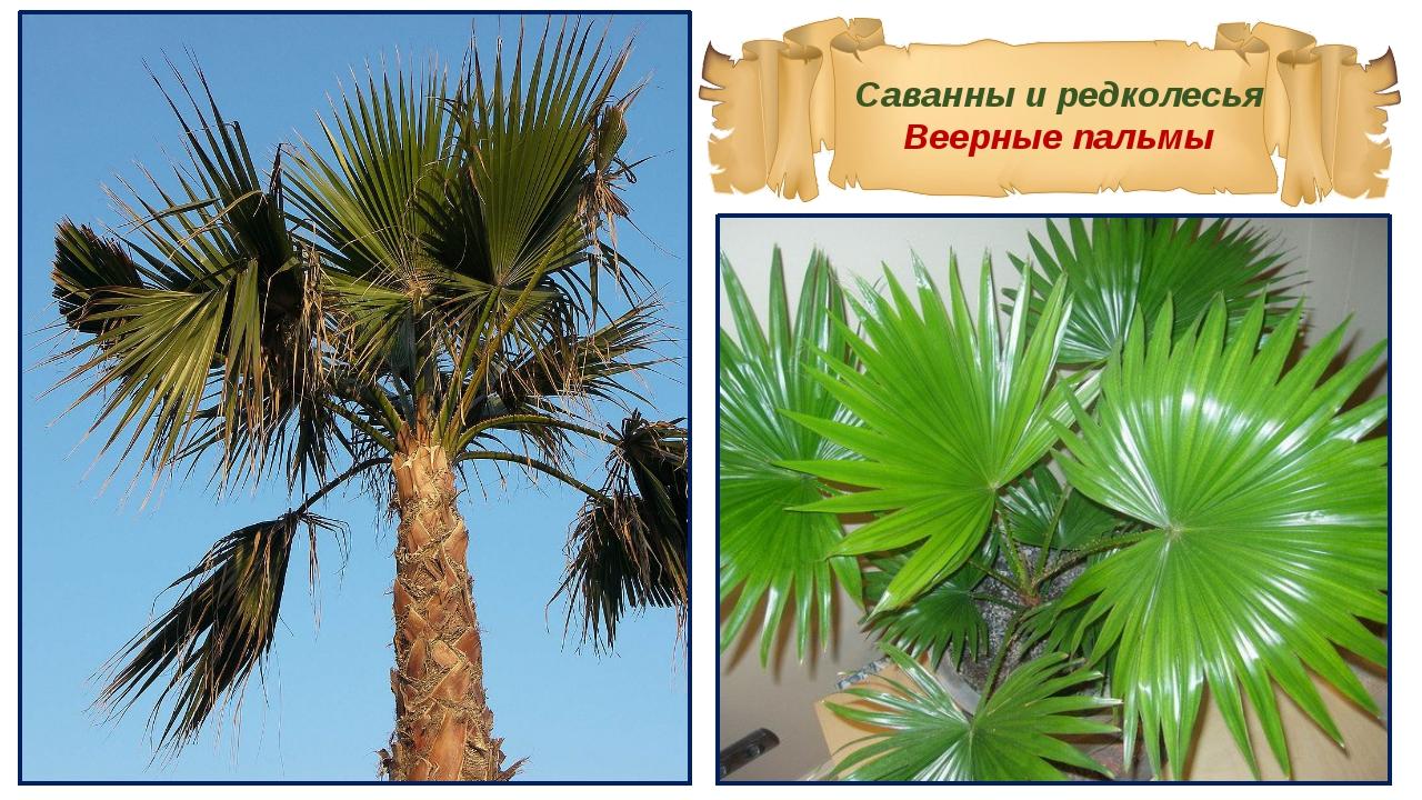 Саванны и редколесья Веерные пальмы