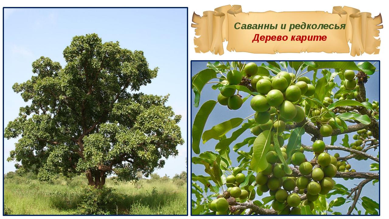 Саванны и редколесья Дерево карите