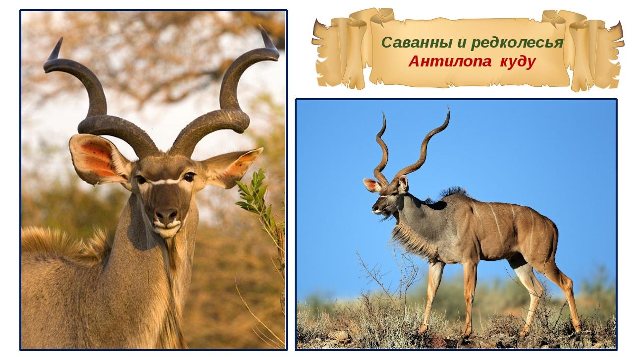 Саванны и редколесья Антилопа куду