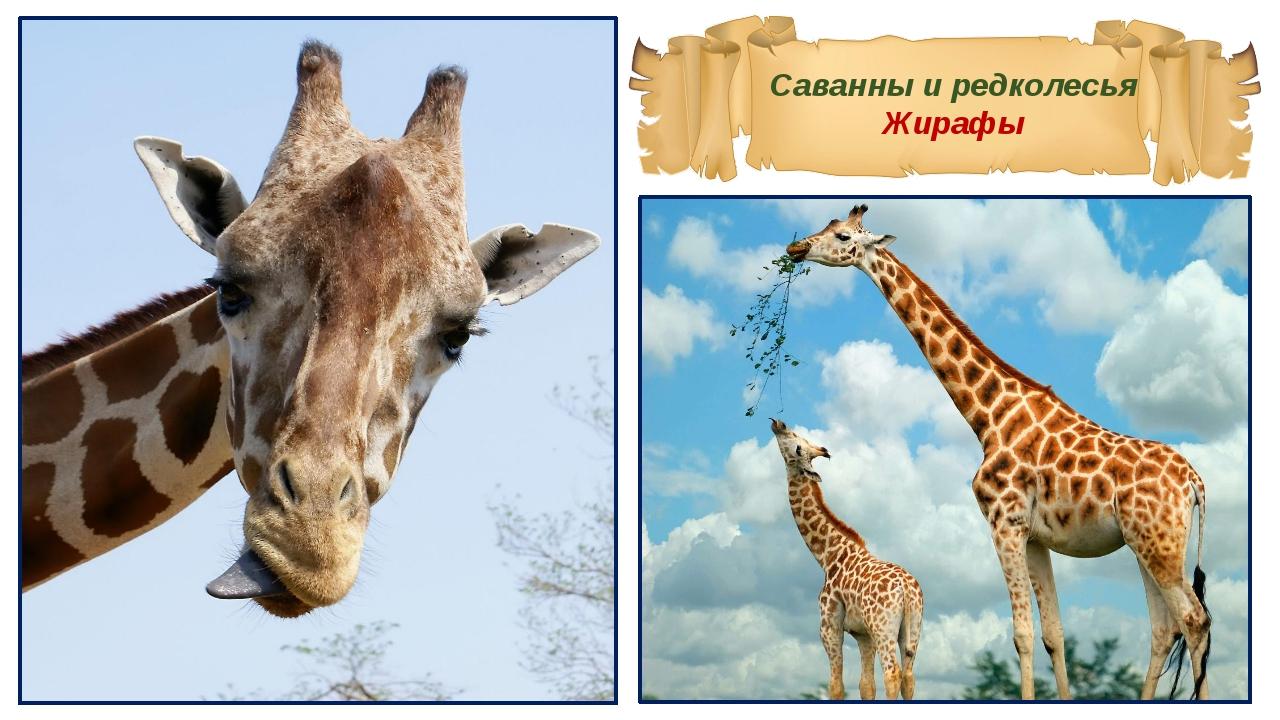 Саванны и редколесья Жирафы