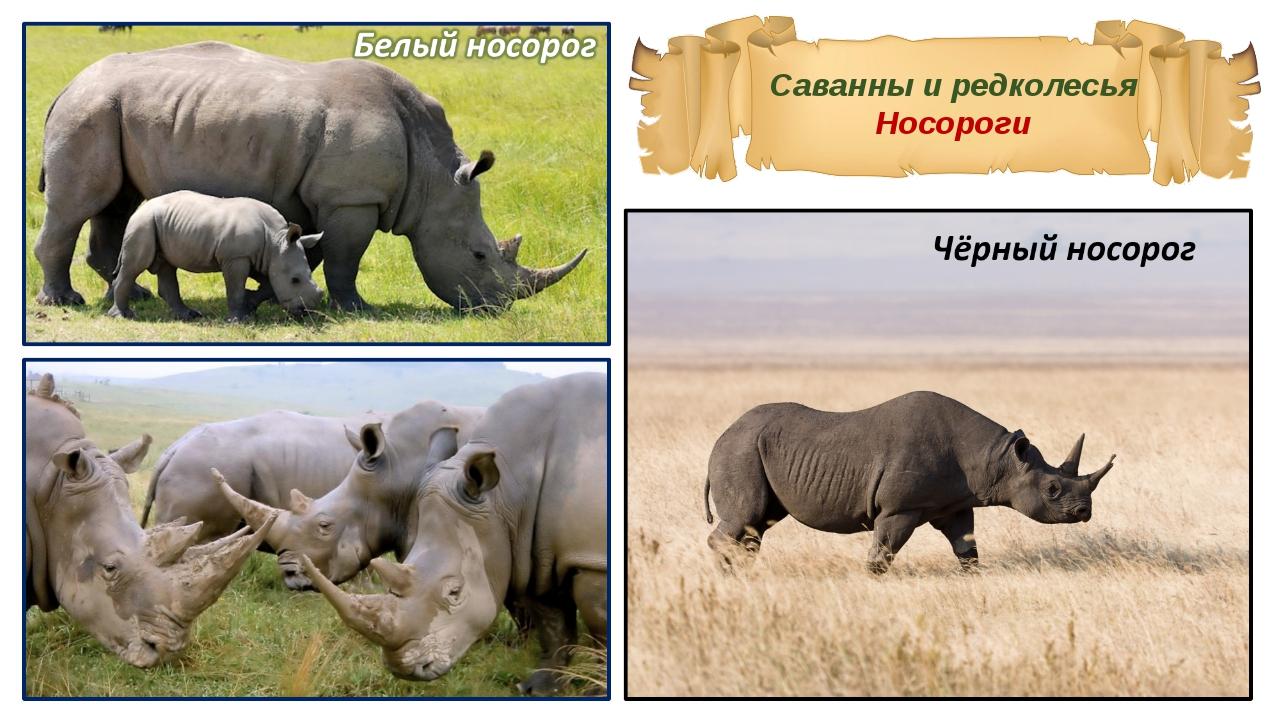 Саванны и редколесья Носороги