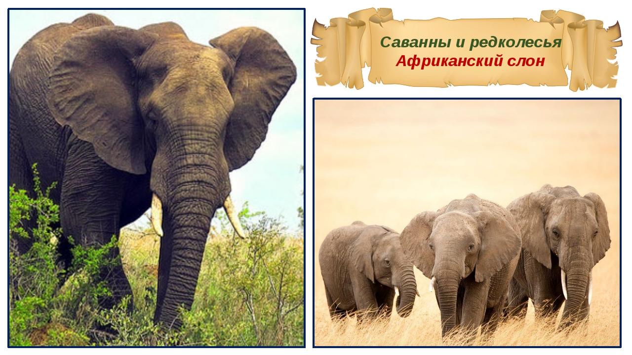 Саванны и редколесья Африканский слон