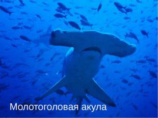 Молотоголовая акула