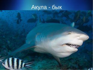 Акула - бык