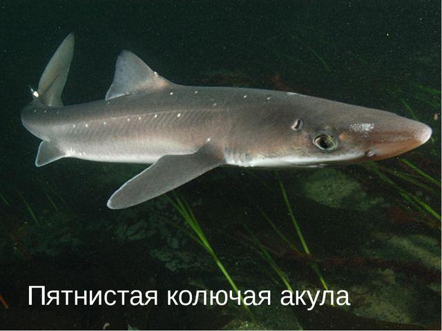 Пятнистая колючая акула