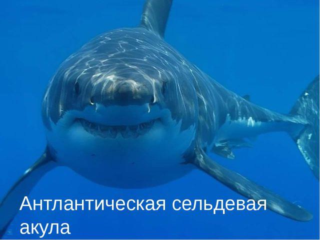 Антлантическая сельдевая акула