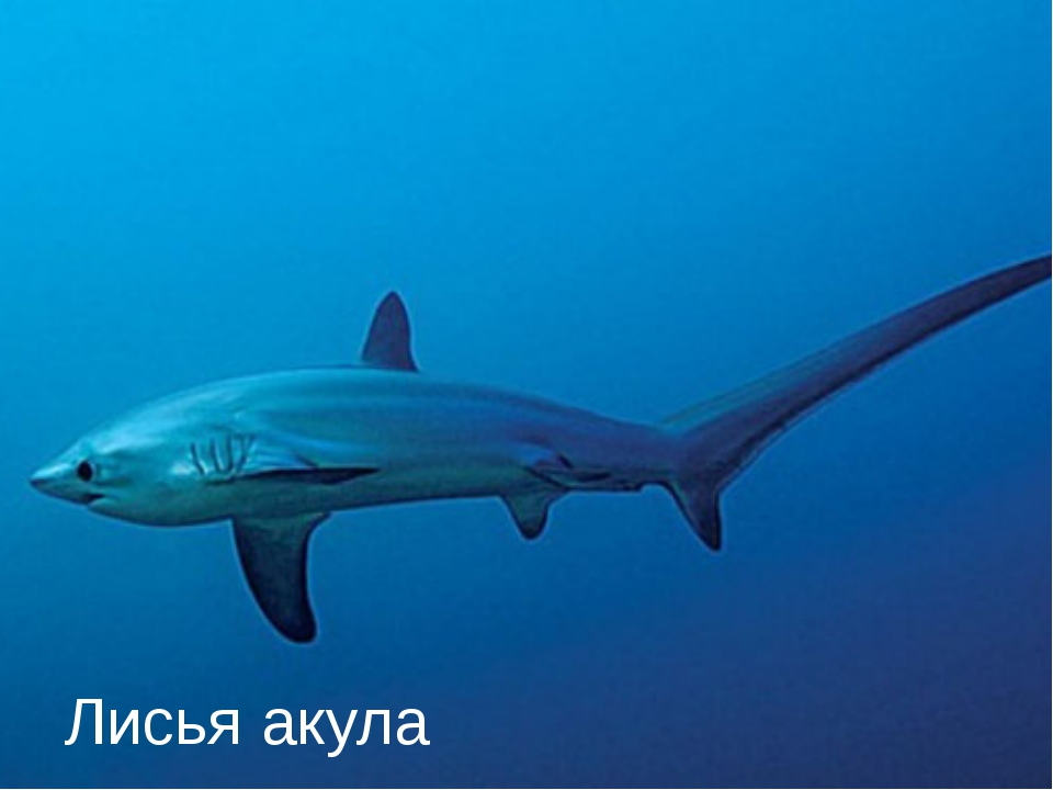 Лисья акула