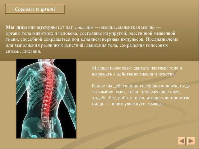 Cognosce te ipsum! Мы́шцы или мускулы (от лат.musculus — мышка, маленькая м...