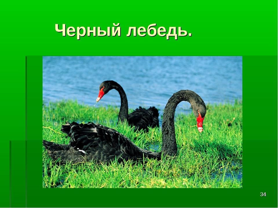 * Черный лебедь.