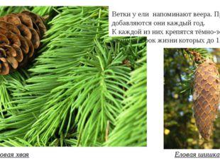 Еловая хвоя Еловая шишка Ветки у ели напоминают веера. Причём добавляются они