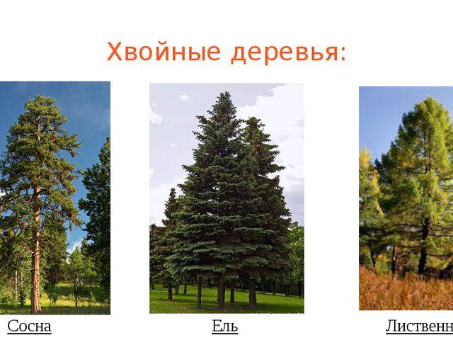 Хвойные деревья: Сосна Ель Лиственница