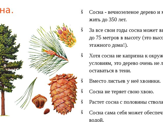Сосна. Сосна - вечнозеленое дерево и может жить до 350 лет. За все свои годы...