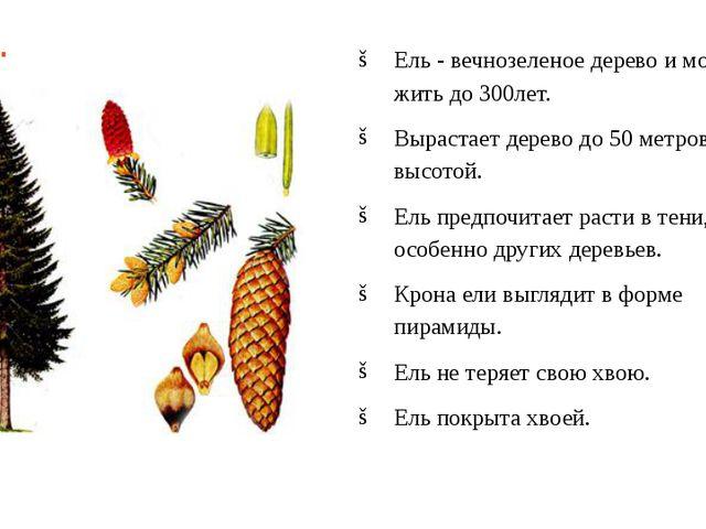 Ель. Ель - вечнозеленое дерево и может жить до 300лет. Вырастает дерево до 50...