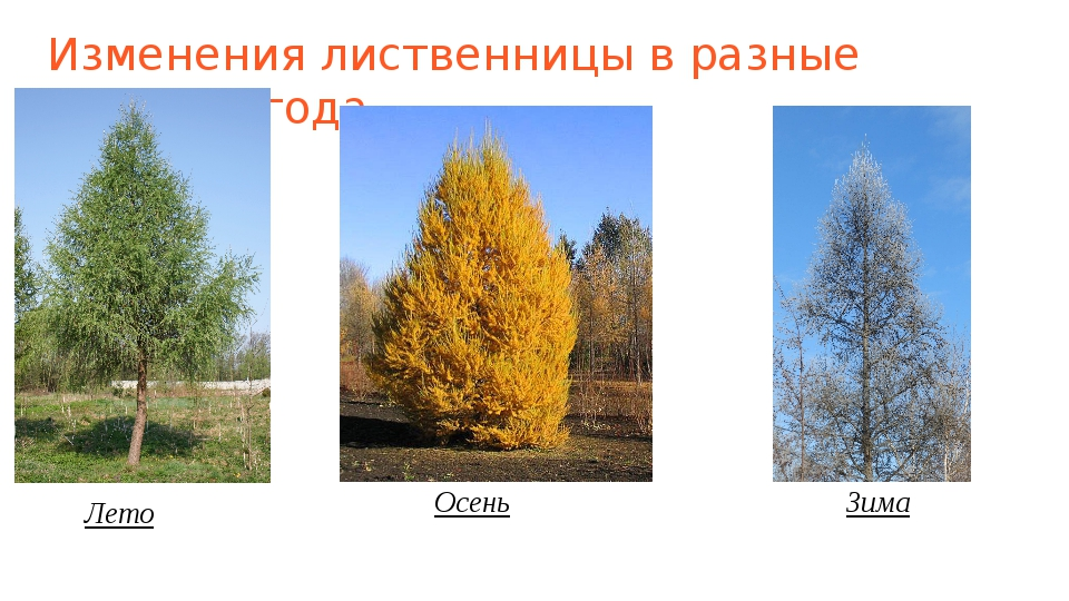 Изменения лиственницы в разные времена года Лето Осень Зима
