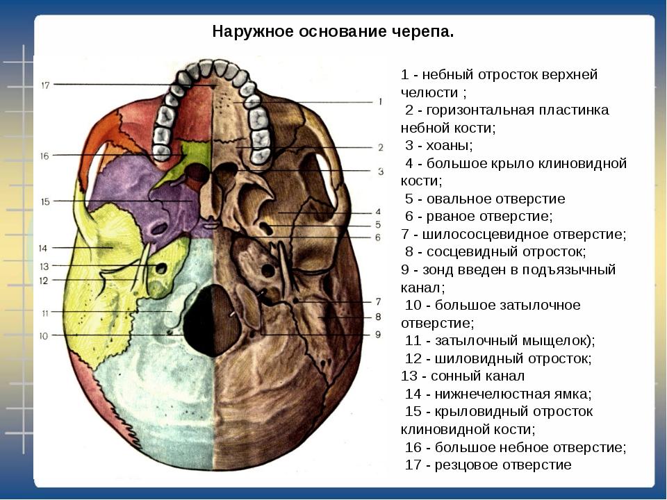 такая процедура основание черепа анатомия в картинках пузырьки