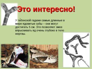 Это интересно! . У габонской гадюки самые длинные в мире ядовитые зубы – они