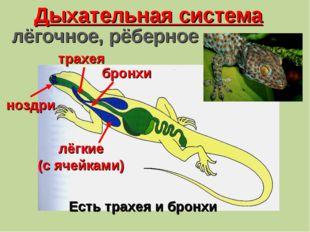 Дыхательная система ноздри трахея бронхи лёгкие (с ячейками) Есть трахея и бр
