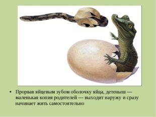 Прорвав яйцевым зубом оболочку яйца, детеныш— маленькая копия родителей— вы