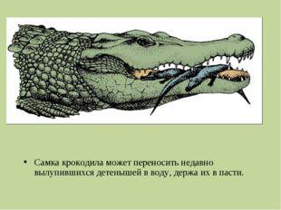 Самка крокодила может переносить недавно вылупившихся детенышей вводу, держа
