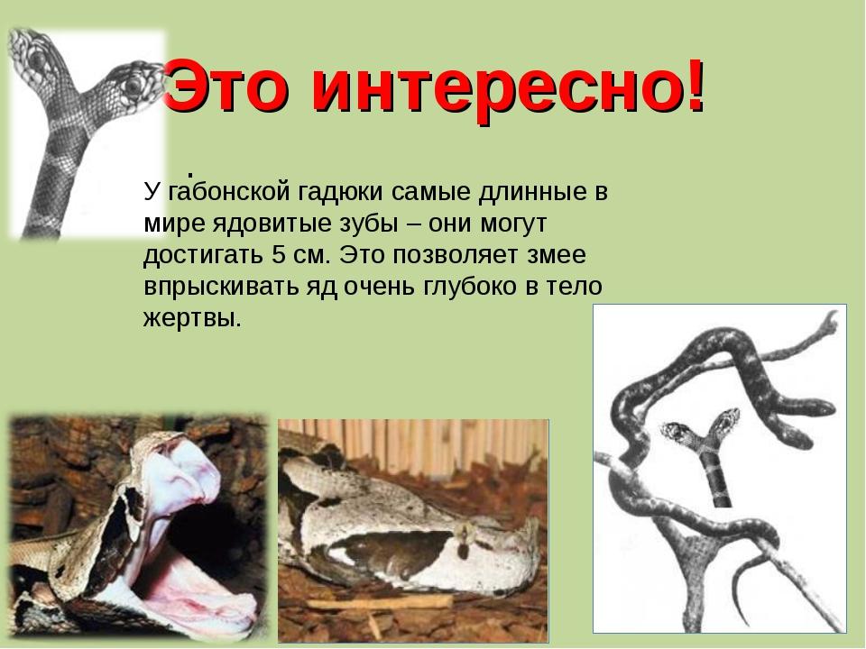 Это интересно! . У габонской гадюки самые длинные в мире ядовитые зубы – они...