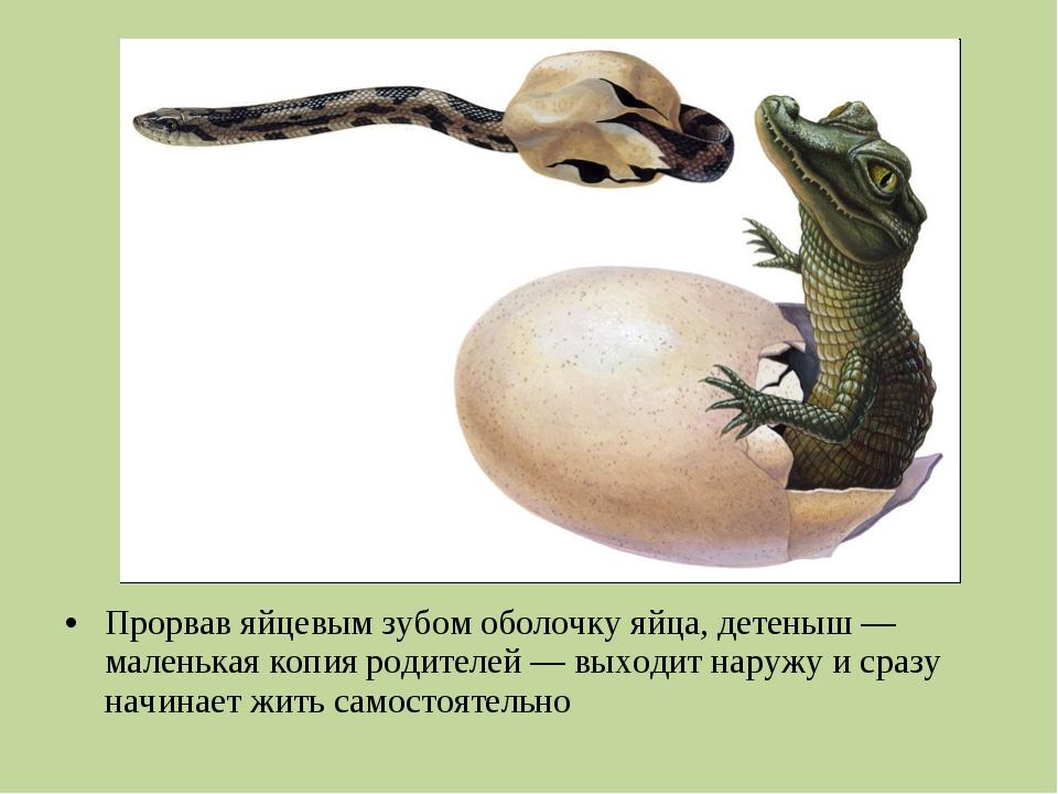Прорвав яйцевым зубом оболочку яйца, детеныш— маленькая копия родителей— вы...