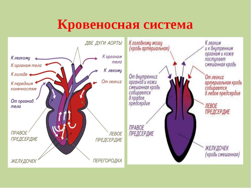 Кровеносная система . ооооооропропро