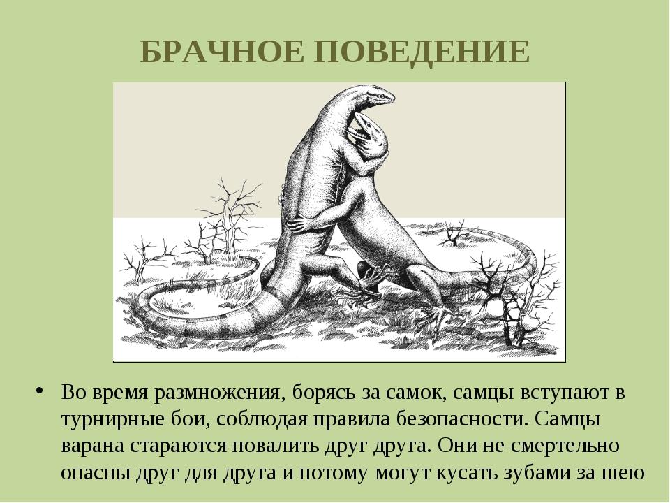 БРАЧНОЕ ПОВЕДЕНИЕ Во время размножения, борясь засамок, самцы вступают в тур...