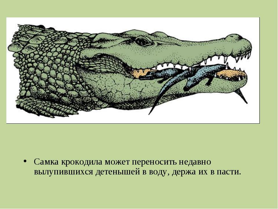 Самка крокодила может переносить недавно вылупившихся детенышей вводу, держа...