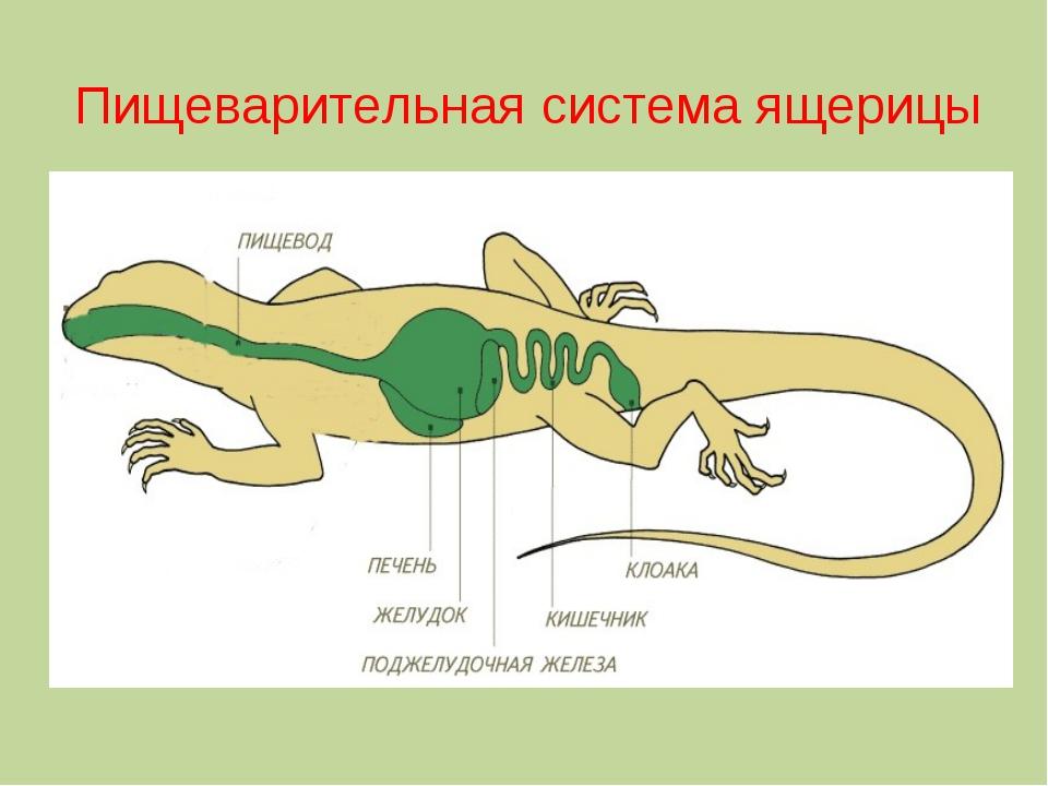 Пищеварительная система ящерицы