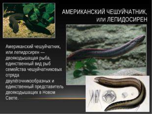 Американский чешуйчатник, или лепидосирен — двоякодышащая рыба, единственный