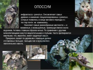 ОПОССУМ Опо́ссумовые — семейство млекопитающих инфракласса сумчатых. Оно вклю