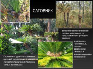 Внешне саговники напоминают пальмы, но пальмы — это покрытосеменные, цветковы