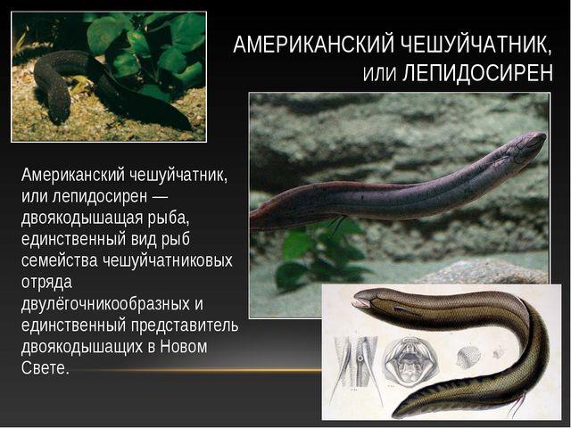Американский чешуйчатник, или лепидосирен — двоякодышащая рыба, единственный...
