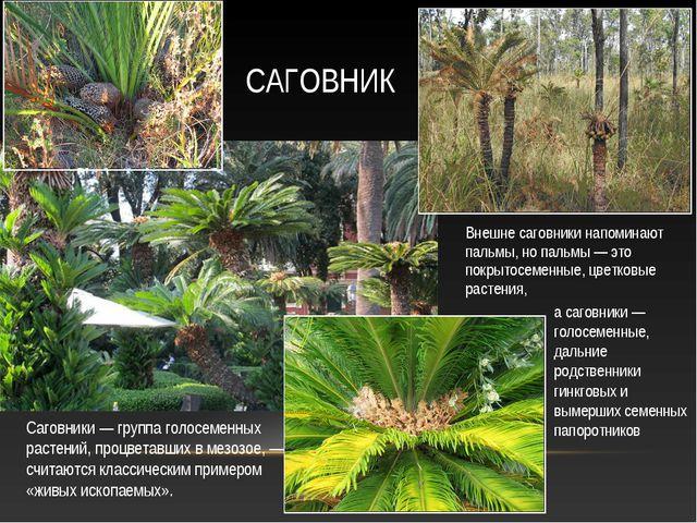 Внешне саговники напоминают пальмы, но пальмы — это покрытосеменные, цветковы...