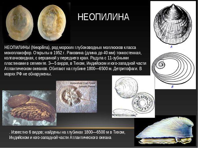 НЕОПИЛИНЫ (Neopilina), род морских глубоководных моллюсков класса моноплакофо...