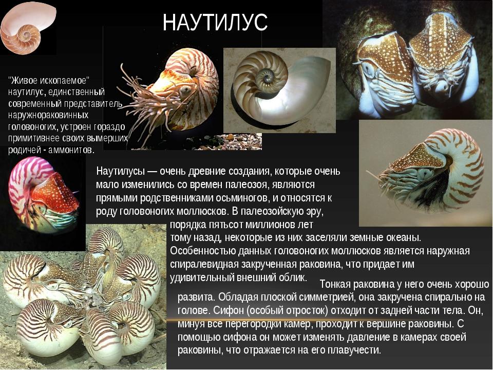 Наутилусы — очень древние создания, которые очень мало изменились со времен п...
