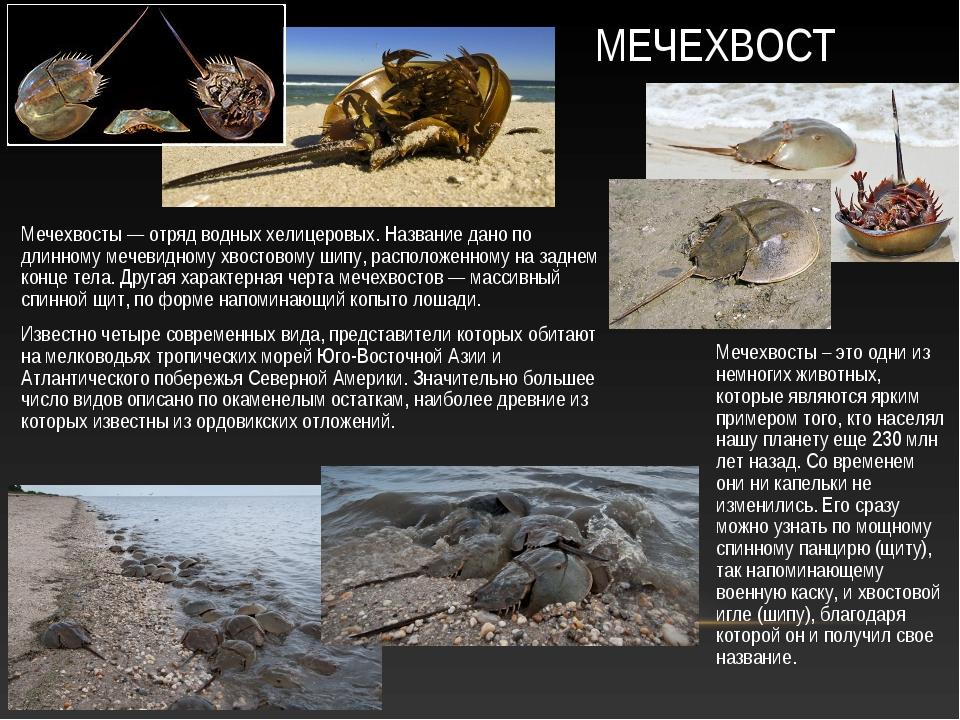 Мечехвосты – это одни из немногих животных, которые являются ярким примером т...