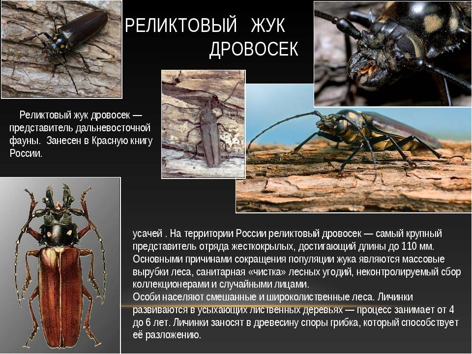 Рели́ктовый дровосе́к, или рели́ктовый уса́ч — вид жуков из семейства усачей...