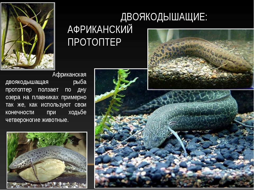 ДВОЯКОДЫШАЩИЕ: АФРИКАНСКИЙ ПРОТОПТЕР Африканская двоякодышащая рыба протопте...