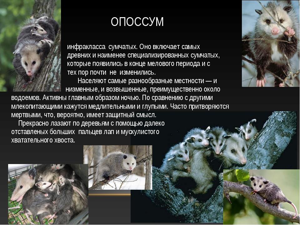 ОПОССУМ Опо́ссумовые — семейство млекопитающих инфракласса сумчатых. Оно вклю...
