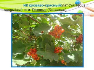 Боя́рышник кроваво-красный(лат.Crataégus sanguínea) сем.Розовые(Rosaceae).