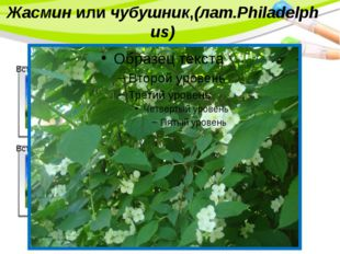Жасминили чубушник,(лат.Philadelphus) PowerPoint Template