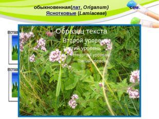 Души́цаобыкновенная(лат.Oríganum) сем.Яснотковые(Lamiaceae) PowerPoint Te