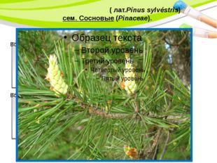 Сосна обыкнове́нная(лат.Pínus sylvéstris) сем. Сосновые(Pinaceae). PowerP