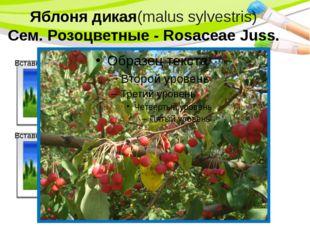 Яблоня дикая(malus sylvestris) Сем. Розоцветные - Rosaceae Juss. PowerPoint T