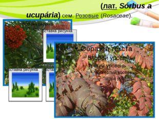Ряби́на обыкнове́нная(лат.Sórbus aucupária) сем.Розовые(Rosaceae). PowerP