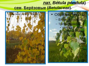 Берёза пови́слая(лат.Bétula péndula) сем.Берёзовые(Betulaceae). PowerPoin